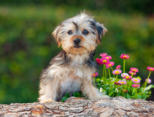 PUP 14 RK0094 01 © Kimball Stock Yorkshire Terrier Puppy Leaning On Log By Flowers