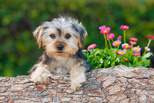 PUP 14 RK0095 01 © Kimball Stock Yorkshire Terrier Puppy Leaning On Log By Flowers