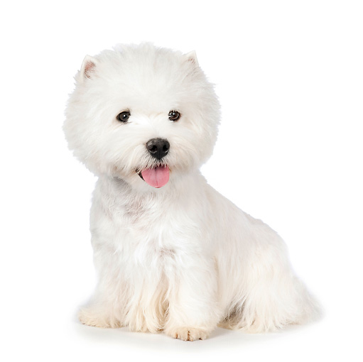 PUP 14 RK0097 01 © Kimball Stock West Highland Terrier Sitting On White Seamless