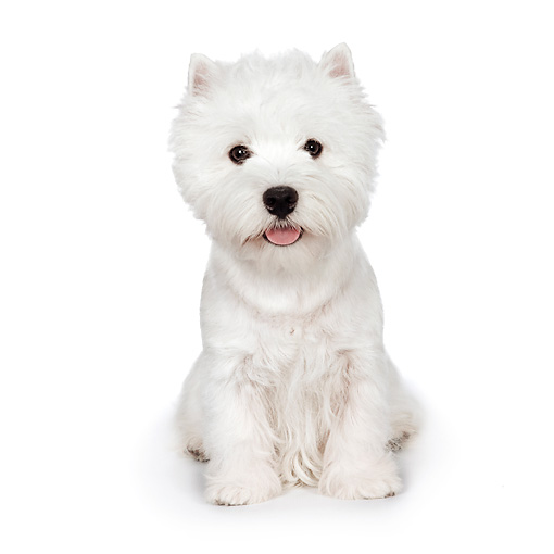 PUP 14 RK0099 01 © Kimball Stock West Highland Terrier Sitting On White Seamless