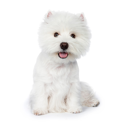 PUP 14 RK0101 01 © Kimball Stock West Highland Terrier Sitting On White Seamless