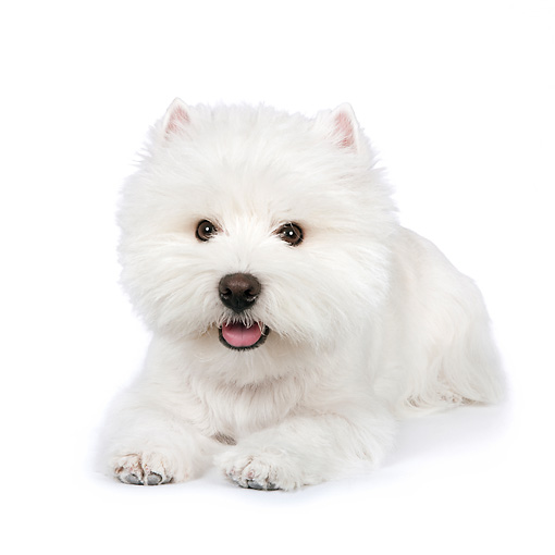 PUP 14 RK0102 01 © Kimball Stock West Highland Terrier Laying On White Seamless