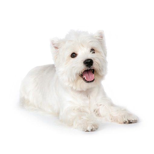 PUP 14 RK0103 01 © Kimball Stock West Highland Terrier Laying On White Seamless