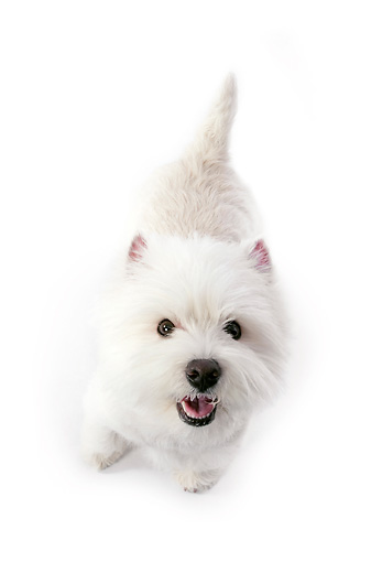PUP 14 RK0104 01 © Kimball Stock West Highland Terrier Standing On White Seamless