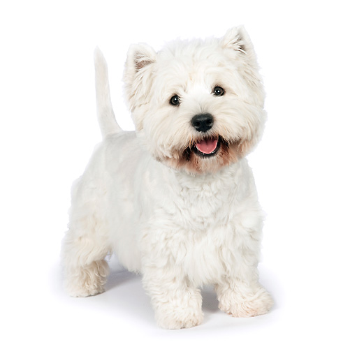 PUP 14 RK0105 01 © Kimball Stock West Highland Terrier Standing On White Seamless