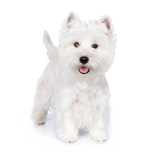 PUP 14 RK0106 01 © Kimball Stock West Highland Terrier Standing On White Seamless