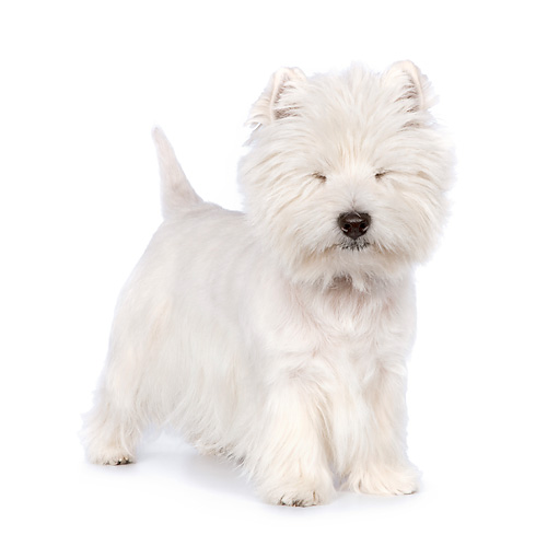 PUP 14 RK0108 01 © Kimball Stock West Highland Terrier Standing On White Seamless