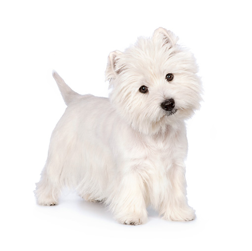 PUP 14 RK0109 01 © Kimball Stock West Highland Terrier Standing On White Seamless