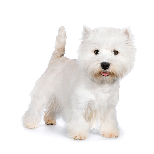 PUP 14 RK0110 01 © Kimball Stock West Highland Terrier Standing On White Seamless