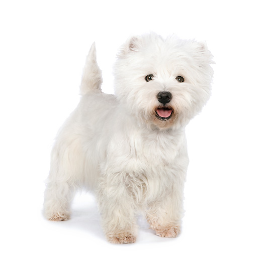 PUP 14 RK0111 01 © Kimball Stock West Highland Terrier Standing On White Seamless