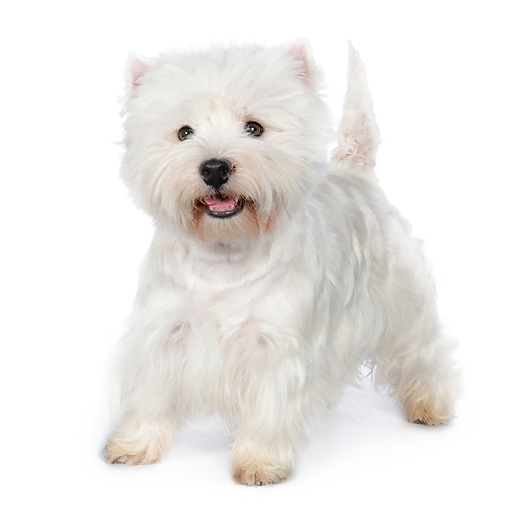 PUP 14 RK0112 01 © Kimball Stock West Highland Terrier Standing On White Seamless