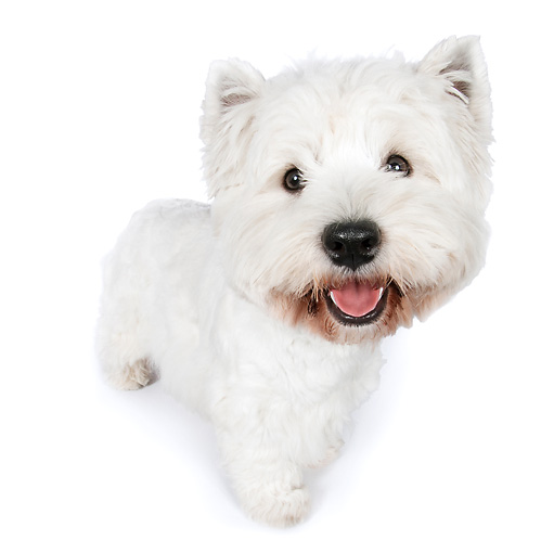 PUP 14 RK0113 01 © Kimball Stock West Highland Terrier Standing On White Seamless