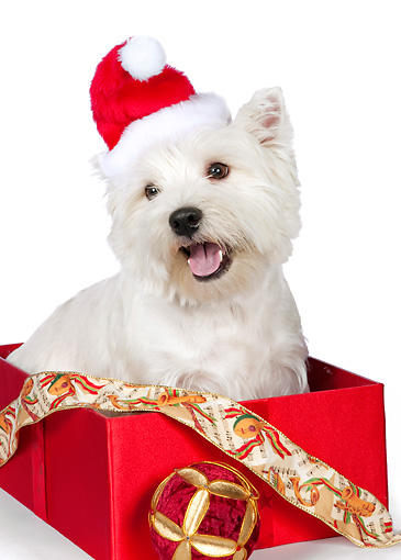 PUP 14 RK0114 01 © Kimball Stock West Highland Terrier Sitting In Gift Box Wearing Santa Hat On White Seamless