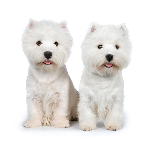 PUP 14 RK0115 01 © Kimball Stock West Highland Terriers Sitting On White Seamless