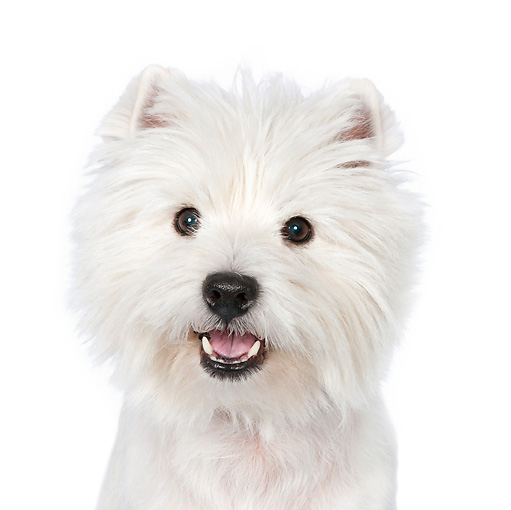 PUP 14 RK0116 01 © Kimball Stock Head Shot Of West Highland Terrier Sitting On White Seamless