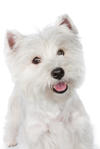 PUP 14 RK0117 01 © Kimball Stock Close-Up Of West Highland Terrier Standing On White Seamless