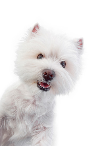 PUP 14 RK0118 01 © Kimball Stock Close-Up Of West Highland Terrier Standing On White Seamless
