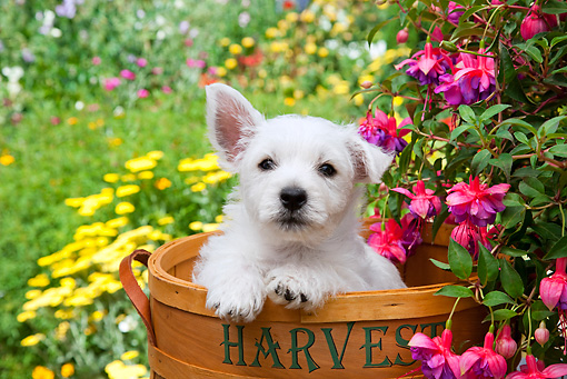 PUP 14 RK0119 01 © Kimball Stock West Highland Terrier Puppy Sitting In Basket In Garden