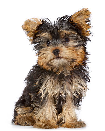 PUP 14 RK0122 01 © Kimball Stock Yorkshire Terrier Puppy Sitting On White Seamless