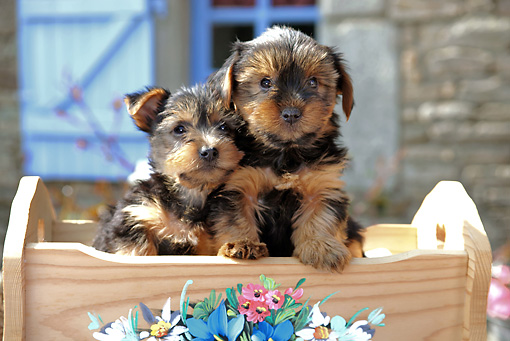 PUP 14 SJ0001 01 © Kimball Stock Two Yorkshire Terrier Puppies Sitting In Wooden Cradle