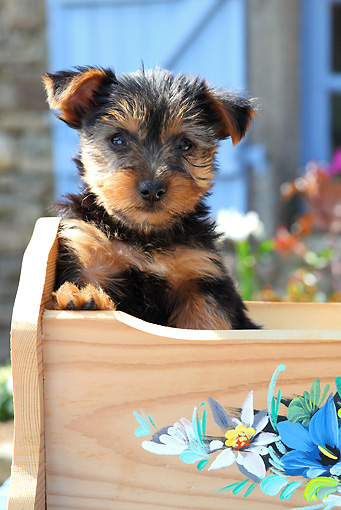 PUP 14 SJ0002 01 © Kimball Stock Yorkshire Terrier Puppy Sitting In Wooden Cradle