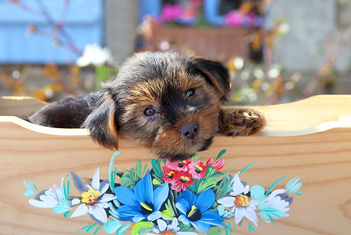 PUP 14 SJ0004 01 © Kimball Stock Yorkshire Terrier Puppy Resting In Wooden Cradle