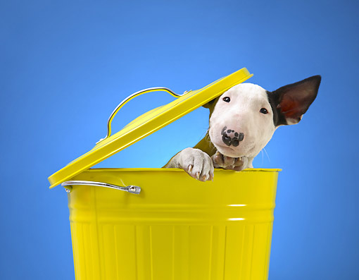 PUP 14 XA0001 01 © Kimball Stock Bull Terrier Puppy Popping Head Out Of Trash Can