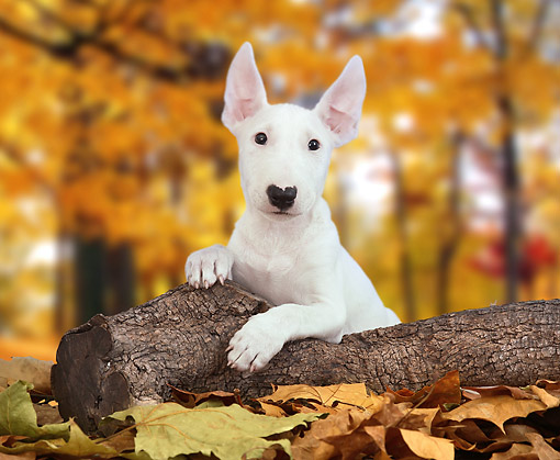 PUP 14 XA0002 01 © Kimball Stock Bull Terrier Puppy Sitting On Log In Autumn Leaves