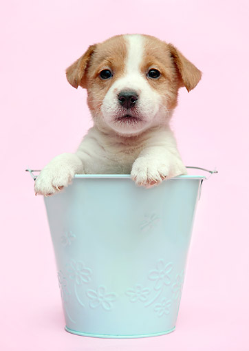 PUP 14 XA0003 01 © Kimball Stock Jack Russell Terrier Puppy Sitting In Bucket In Studio