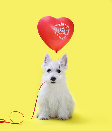 PUP 14 XA0008 01 © Kimball Stock West Highland Terrier Holding Love Balloon In Studio