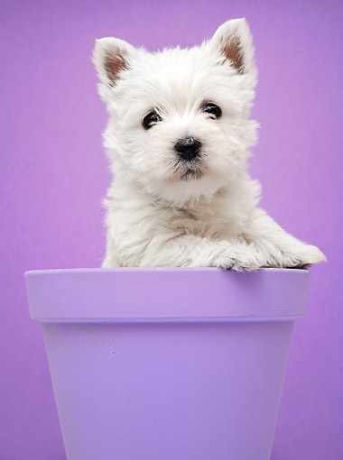 PUP 14 XA0012 01 © Kimball Stock West Highland Terrier Puppy Sitting In Pot In Studio