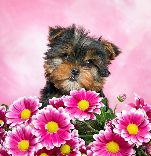 PUP 14 XA0016 01 © Kimball Stock Yorkshire Terrier Sitting With Flowers In Studio