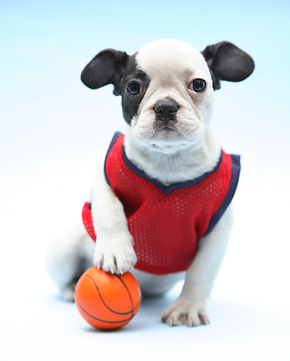 PUP 14 XA0019 01 © Kimball Stock Boston Terrier Puppy Wearing Jersey And Holding Basketball