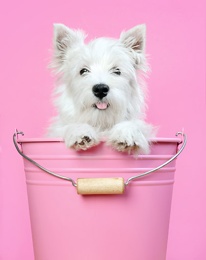 PUP 14 XA0020 01 © Kimball Stock West Highland Terrier Sitting In Pink Bucket