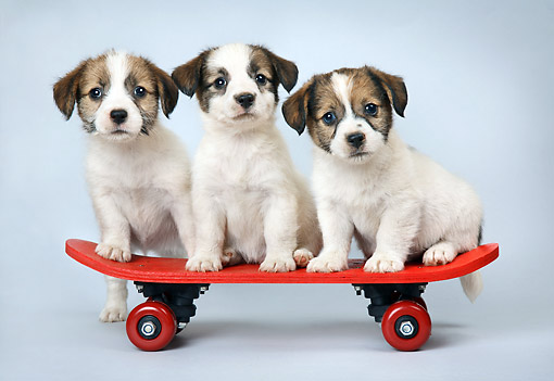 PUP 14 XA0021 01 © Kimball Stock Jack Russell Terriers Riding Skateboard In Studio