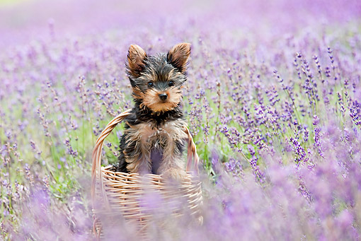 PUP 14 YT0006 01 © Kimball Stock Yorkshire Terrier Puppy Sitting In Basket In Field Of Wildflowers