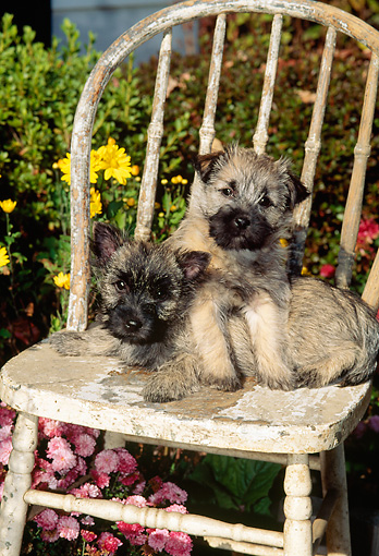 PUP 14 CE0003 01 © Kimball Stock Two Cairn Terrier Puppies Sitting On Old Chair By Flowers In Garden