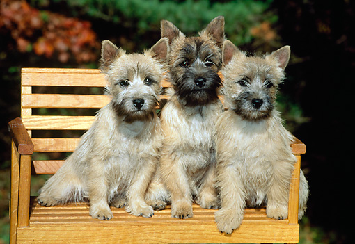 PUP 14 CE0004 01 © Kimball Stock Three Cairn Terrier Puppies Sitting On Wooden Bench In Garden
