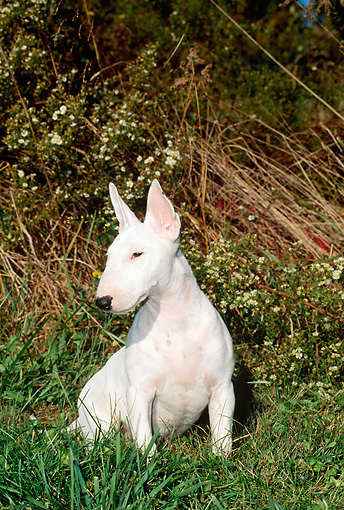 PUP 14 CE0005 01 © Kimball Stock Miniature Bull Terrier Puppy Sitting In Field By Wildflowers