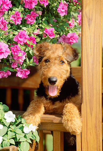 PUP 14 CE0007 01 © Kimball Stock Shoulder Shot Of Airedale Terrier Puppy Peeking Over Gazebo Railing By Flowers