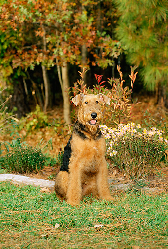 PUP 14 CE0009 01 © Kimball Stock Airedale Terrier Puppy Sitting On Grass By Flowers And Autumn Trees