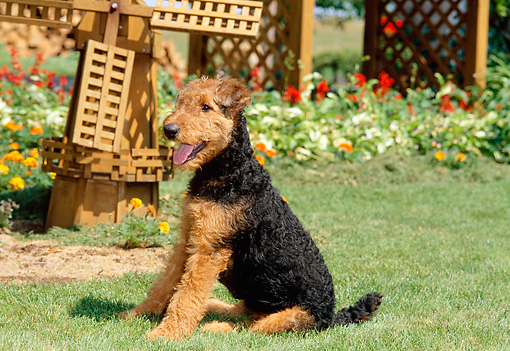 PUP 14 CE0010 01 © Kimball Stock Airedale Terrier Puppy Sitting On Grass By Flowers And Windmill