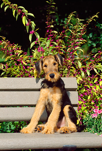 PUP 14 CE0012 01 © Kimball Stock Airedale Terrier Puppy Sitting On Bench By Foliage