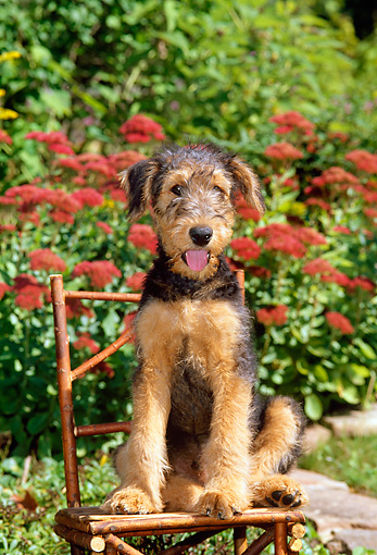 PUP 14 CE0013 01 © Kimball Stock Airedale Terrier Puppy Sitting On Twig Chair By Flowers
