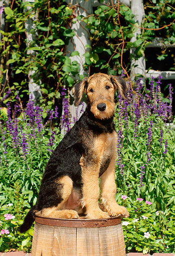 PUP 14 CE0014 01 © Kimball Stock Airedale Terrier Puppy Sitting On Barrel By Flowers