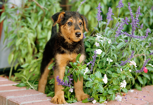 PUP 14 CE0015 01 © Kimball Stock Airedale Terrier Puppy Standing On Brick Wall By Flowers