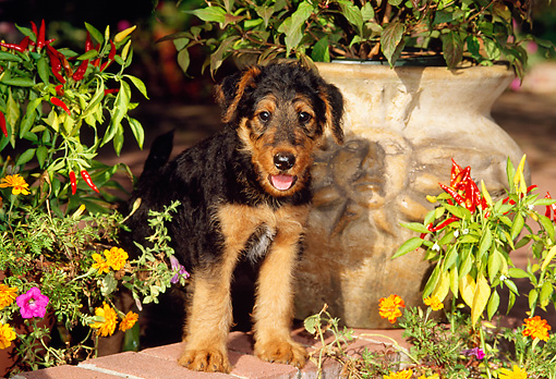 PUP 14 CE0016 01 © Kimball Stock Airedale Terrier Puppy Standing On Brick Wall By Flowers