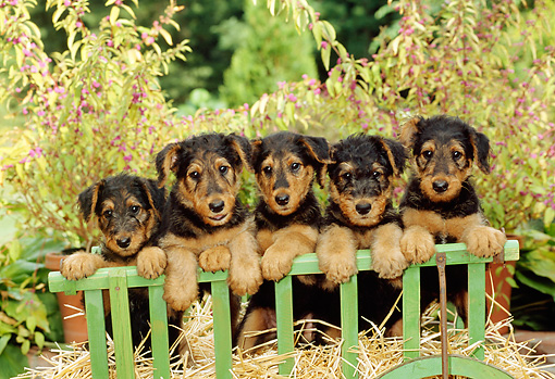 PUP 14 CE0017 01 © Kimball Stock Airedale Terrier Puppies Standing On Hay In Cart By Foliage