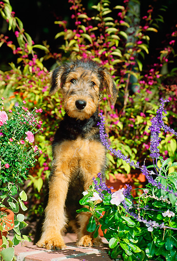 PUP 14 CE0021 01 © Kimball Stock Airedale Terrier Puppy Sitting On Brick Wall By Flowers