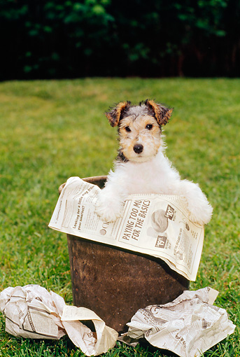 PUP 14 CE0022 01 © Kimball Stock Fox Terrier Puppy Standing In Trash Can With Newspaper